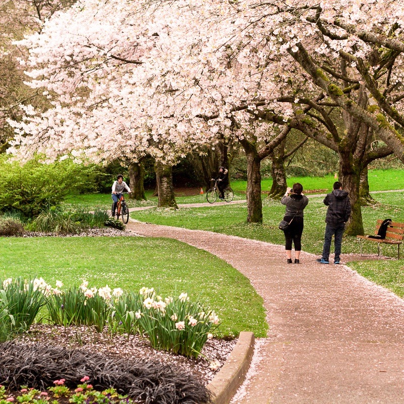 Vancouver Spring 2017 cherry blossoms tour