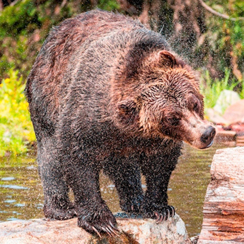 experience vancouver group grouse mountain wildlife refuge breakfast with the bears spring 2017